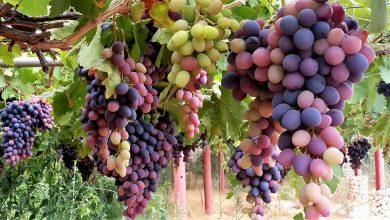 العنب مفيد للعين
