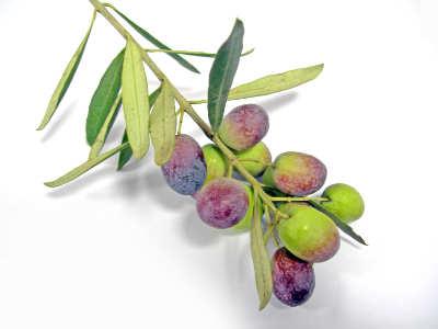 Photo of مستخلص ورق الزيتون يعالج أمراض التهاب الأمعاء المزمن