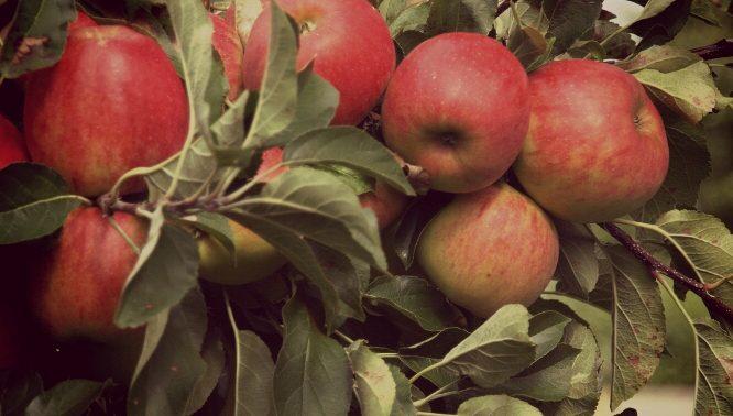 Photo of لماذا التفاح صحي؟ هذا ما يجب أن تعرفه عن فوائد التفاح