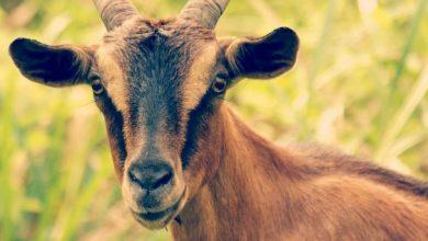 فوائد جبن الماعز