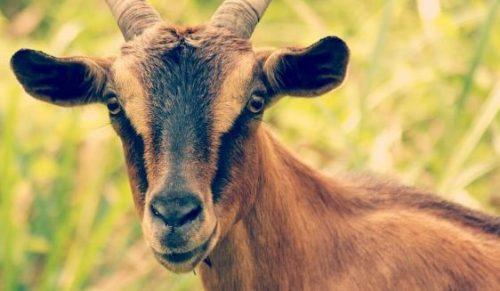 Photo of فوائد جبن الماعز – كل ما تريد معرفته عن جبن الماعز