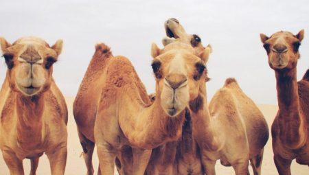 Photo of فوائد حليب الإبل – معلومات هامة عن حليب الإبل
