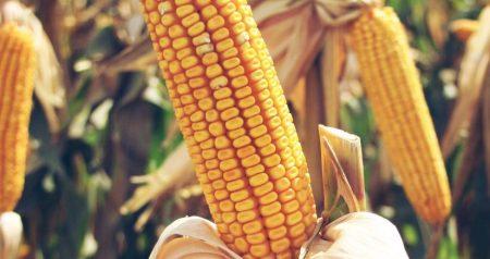 Photo of الذرة