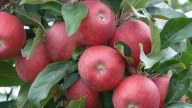 Photo of القيمة الغذائية للتفاح – العناصر الغذائية في التفاح