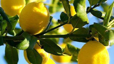 Photo of الليمون يخفف من آلام البطن والمعدة