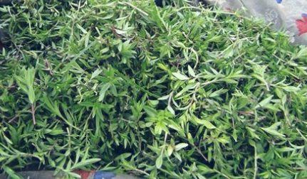 Photo of الزعتر البري: فوائد ضد الجراثيم و السعال