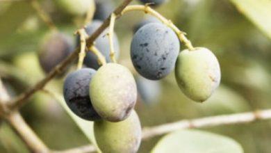 Photo of العناصر الغذائية في الزيتون الأخضر و الزيتون الأسود