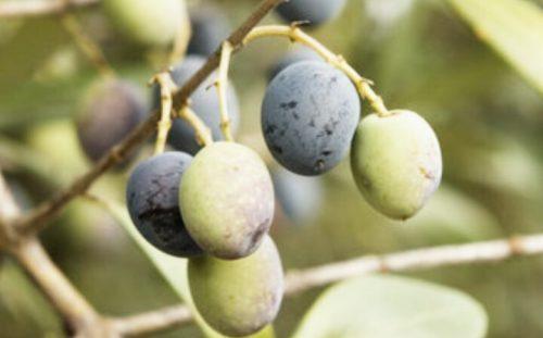 العناصر الغذائية في الزيتون