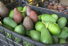 Photo of فوائد الأفوكادو ضد السمنة و السكري – عنصر في الأفوكادو مفيد للصحة